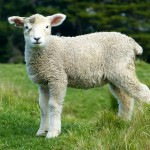 sheep-275928_1280